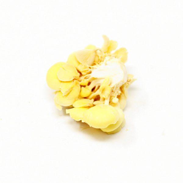 Yellow-Oyster-Mushroom
